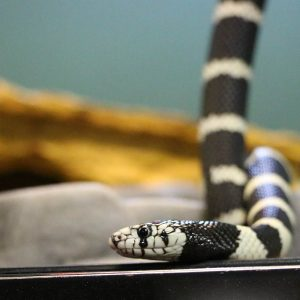 King Snake at Friendly Pets, Pet Supply Stores in Exeter and Lee, NH