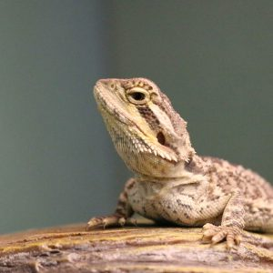 Baby Bearded Dragon at Friendly Pets, Pet Supply Stores in Exeter and Lee, NH