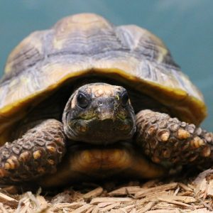 Russian Tortoise at Friendly Pets, Pet Supply Stores in Exeter and Lee, NH