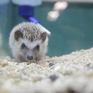 A Hedgehog at Friendly Pets