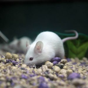 Mice at Friendly Pets, Exeter NH