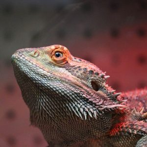 A Bearded Dragon at Friendly Pets