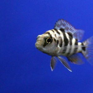 African Cichlid at Friendly Pets