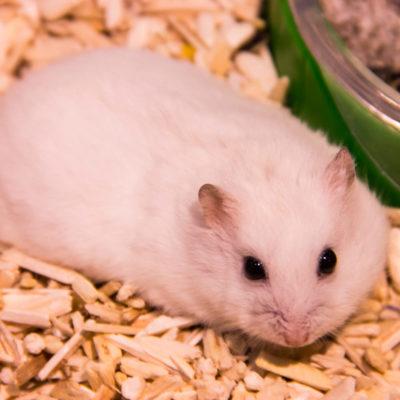 Djungarian White Hamster