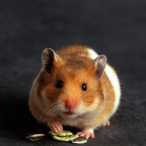 Fancy Hamster