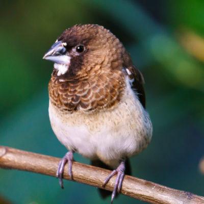 Society Finch